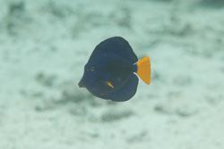BD-150225-Sharm-6890-Zebrasoma-xanthurum-(Blyth.-1852)-[Yellowtail-tang].jpg